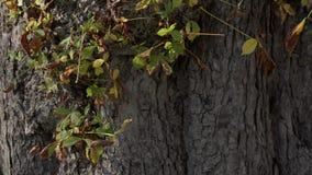 Foglie verdi sul tronco di grande albero video d archivio