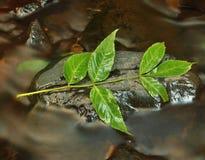 Foglie verdi sulla pietra muscosa sotto il livello dell'acqua aumentato. Fotografie Stock