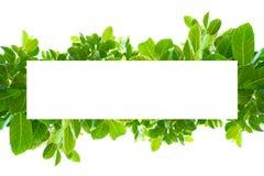 Foglie verdi tropicali asiatiche che hanno isolato su un fondo bianco fotografie stock