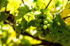Foglie verdi Vitis vinifera dell'uva Immagini Stock