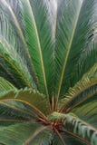 Foglii di palma Fotografia Stock