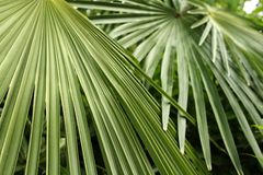 Foglii di palma Immagini Stock Libere da Diritti