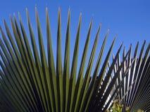 Foglii di palma al mendoza Immagini Stock