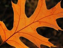 Foglio arancione Fotografia Stock