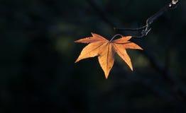 Foglio arancione del Liquidambar che emette luce alla luce solare Immagini Stock Libere da Diritti