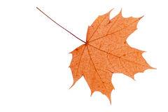 Foglio asciutto di autunno Fotografia Stock
