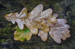 Foglio bagnato della quercia Immagini Stock