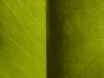 Foglio chiaro & scuro della magnolia Immagine Stock