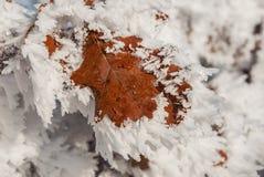 Foglio congelato della quercia Immagine Stock Libera da Diritti