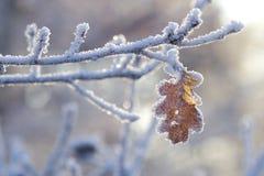 Foglio congelato della quercia Immagini Stock