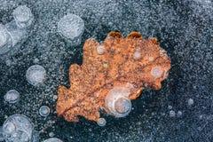 Foglio congelato della quercia Fotografia Stock Libera da Diritti