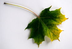 Foglio d'ingiallimento di autunno Fotografie Stock