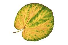 Foglio dei colori gialli e verdi Fotografie Stock Libere da Diritti