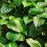 Foglio del betle del pifferaio Immagini Stock