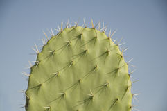 Foglio del cactus Fotografie Stock Libere da Diritti