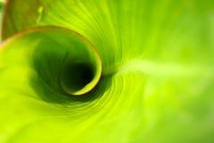 Foglio del cannaceae Fotografia Stock