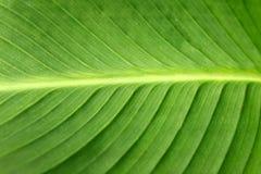 Foglio del cannaceae Fotografia Stock Libera da Diritti