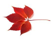 Foglio del creeper di Virginia di autunno Fotografia Stock Libera da Diritti
