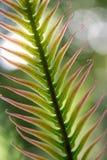 Foglio del Cycad fotografia stock