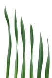 Foglio del Daffodil Immagini Stock Libere da Diritti