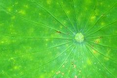 Foglio del loto. Fotografia Stock Libera da Diritti