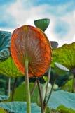 Foglio del loto. Immagini Stock