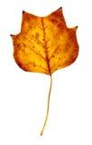 Foglio del pioppo di autunno Fotografie Stock Libere da Diritti