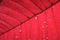 foglio del Poinsettia del primo piano    fotografia stock libera da diritti