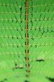 Foglio del tamarindo Immagini Stock Libere da Diritti