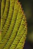 Foglio del Viburnum Backlit Immagine Stock