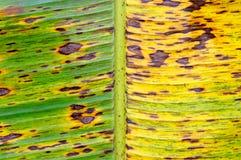 Foglio dell'albero della banana (sapientum della Musa) Fotografie Stock Libere da Diritti