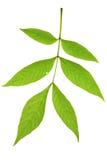 Foglio dell'albero di cenere Fotografia Stock