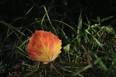 Foglio dell'Aspen Fotografia Stock