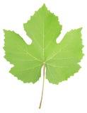 Foglio dell'uva Fotografia Stock
