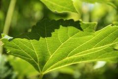 Foglio dell'uva immagine stock