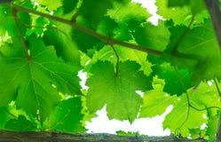 Foglio dell'uva immagini stock