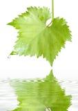 Foglio dell'uva con le gocce di pioggia Fotografia Stock