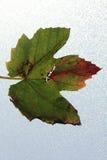 Foglio dell'uva nei colori di autunno Immagine Stock
