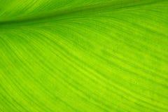 foglio della banana Immagine Stock Libera da Diritti