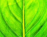 Foglio della banana Immagini Stock Libere da Diritti