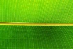 Foglio della banana Fotografie Stock Libere da Diritti