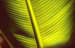 Foglio della banana Fotografia Stock