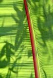Foglio della banana Immagini Stock