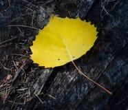 Foglio della betulla gialla Fotografia Stock