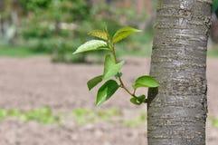 Foglio della ciliegia Fotografia Stock