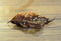 Foglio della ciliegia Fotografia Stock Libera da Diritti