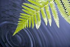 Foglio della felce con le ondulazioni dell'acqua Fotografia Stock