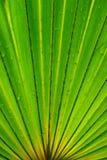 Foglio della noce di cocco Immagini Stock