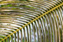 Foglio della noce di cocco Fotografia Stock