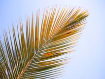 Foglio della noce di cocco Immagine Stock Libera da Diritti